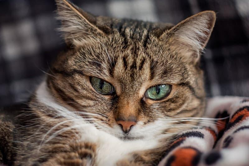 一只被布满痘痕的猫的特写镜头画象与嫉妒的 库存图片