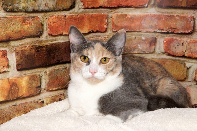 一只被稀释的杂色猫的画象 库存图片