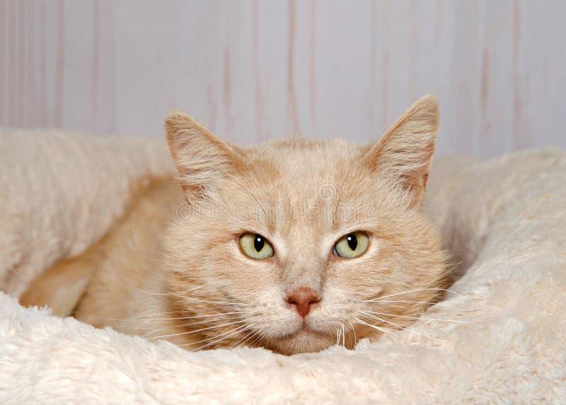 一只被稀释的橙色虎斑猫的画象在床上 免版税库存照片