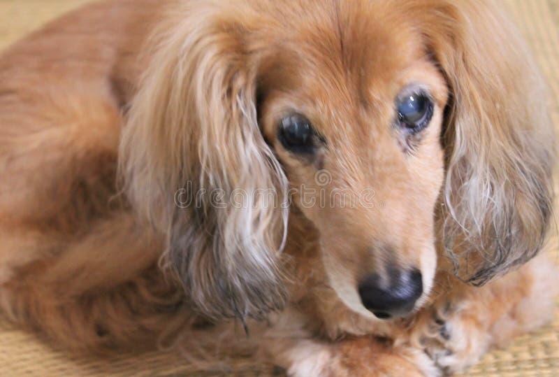 一只资深微型达克斯猎犬 免版税库存图片