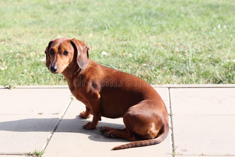 一只达克斯猎犬的照片在大阳台的 免版税库存图片