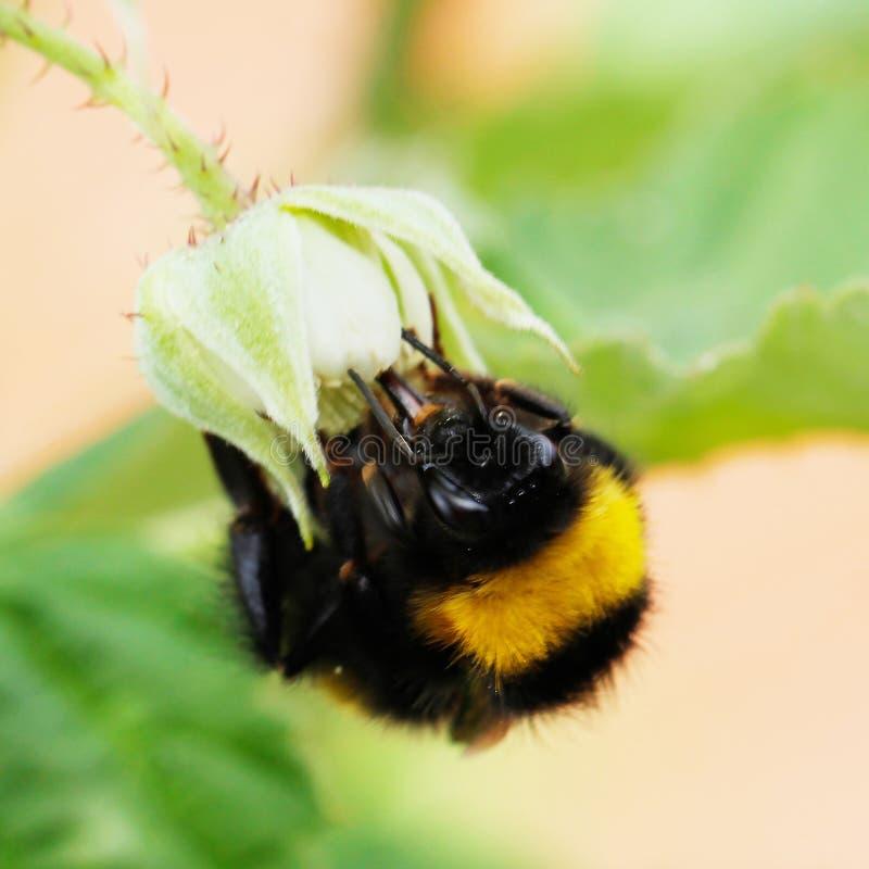 一只迷人的蜂从一朵美丽的花收集花蜜! 免版税库存图片