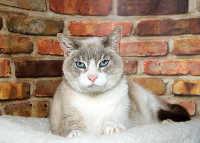 一只适当的暹罗猫的画象 库存图片