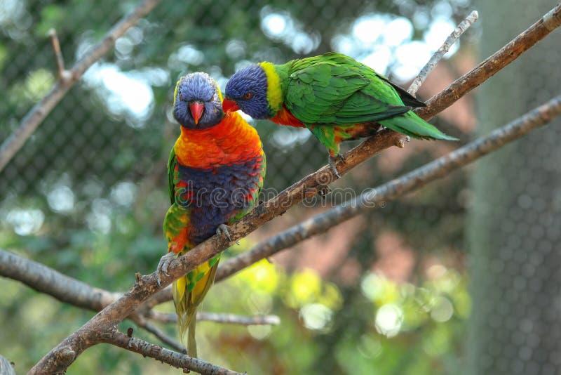一只逗人喜爱和五颜六色的鹦鹉的portait 免版税库存照片