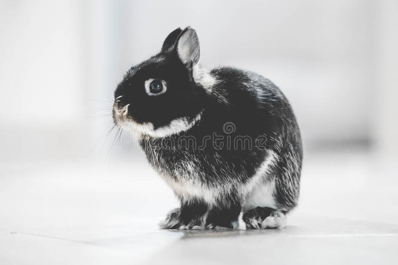 一只逗人喜爱的兔子的特写镜头坐看往照相机的地面有被弄脏的背景 免版税库存照片