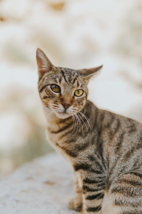 一只逗人喜爱的可爱的家猫的画象与美丽的眼睛的 免版税库存照片