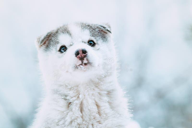 一只逗人喜爱的多壳的小狗的冬天画象,与雪的滑稽的狗在鼻子 图库摄影