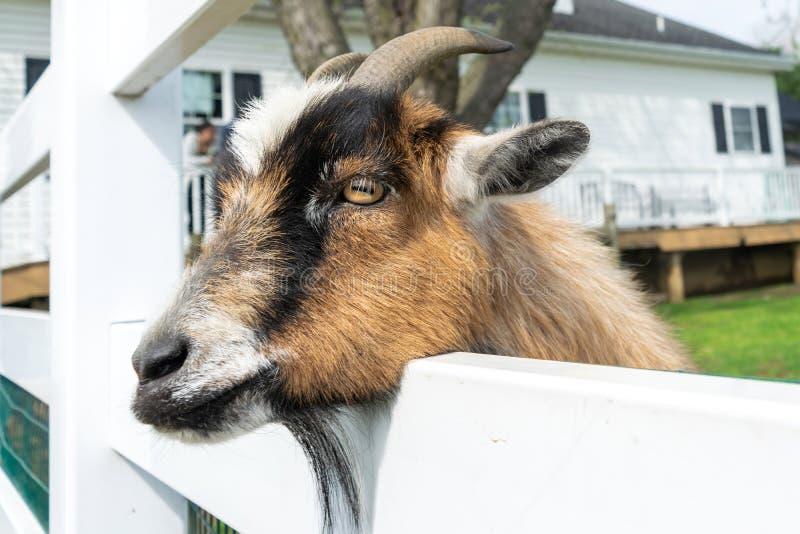 一只逗人喜爱的小棕色山羊在一个动物园偷看,虽然白色篱芭在宾夕法尼亚 免版税库存图片