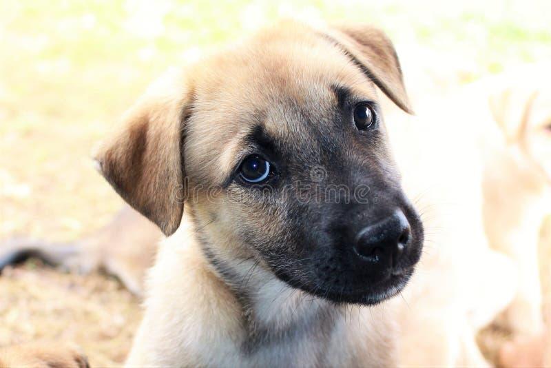一只逗人喜爱的棕色小狗的Portriat与黑枪口的 库存照片