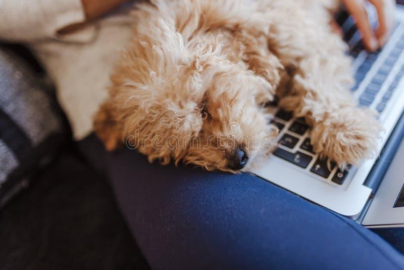 一只逗人喜爱的棕色玩具狮子狗的画象与他的年轻女人所有者的在家 休眠在膝上型计算机 白天,户内 图库摄影