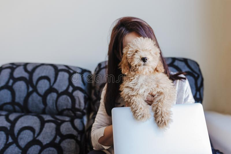 一只逗人喜爱的棕色玩具狮子狗的画象与他的年轻女人所有者的在家 膝上型计算机使用 白天,户内 免版税图库摄影