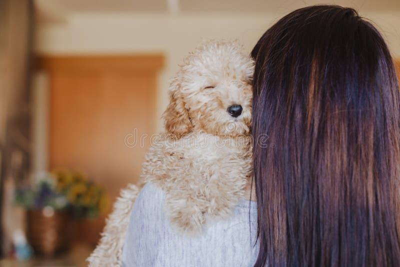 一只逗人喜爱的棕色玩具狮子狗的画象与在家他的年轻女人所有者的,白天,户内 免版税库存图片