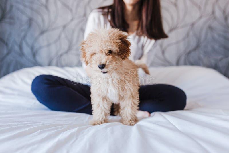 一只逗人喜爱的棕色玩具狮子狗的画象与在家他的年轻女人所有者的,白天,户内 库存照片