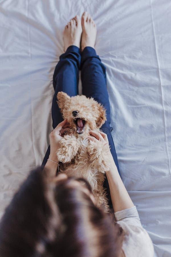一只逗人喜爱的棕色玩具狮子狗的画象与在家他的年轻女人所有者的,白天,户内 图库摄影