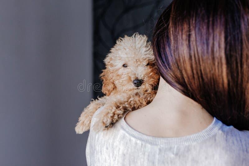 一只逗人喜爱的棕色玩具狮子狗的画象与在家他的年轻女人所有者的,白天,户内 免版税图库摄影