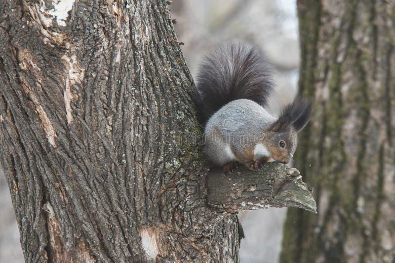 一只逗人喜爱的灰鼠坐一棵树在森林里 免版税库存图片