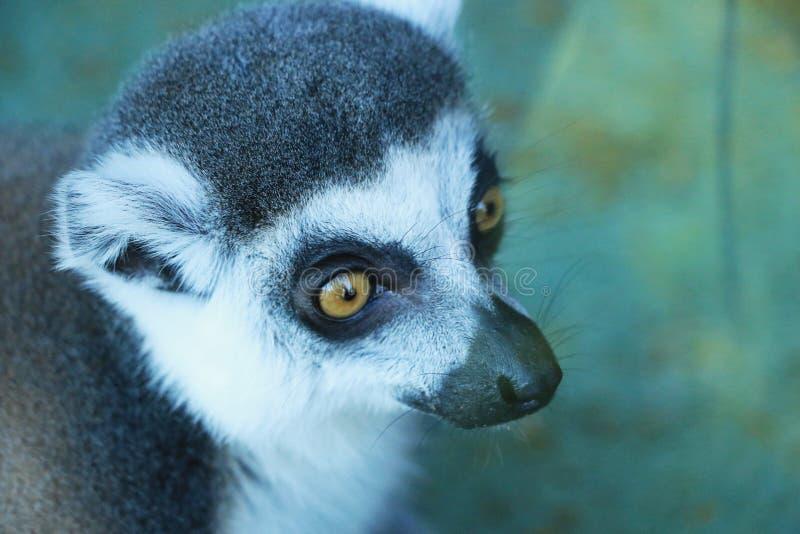 一只逗人喜爱的狐猴 图库摄影