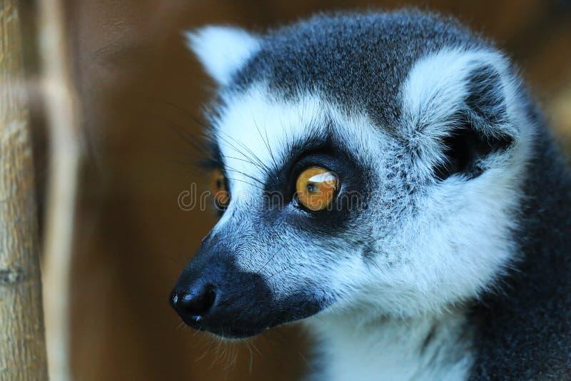 一只逗人喜爱的狐猴 库存图片