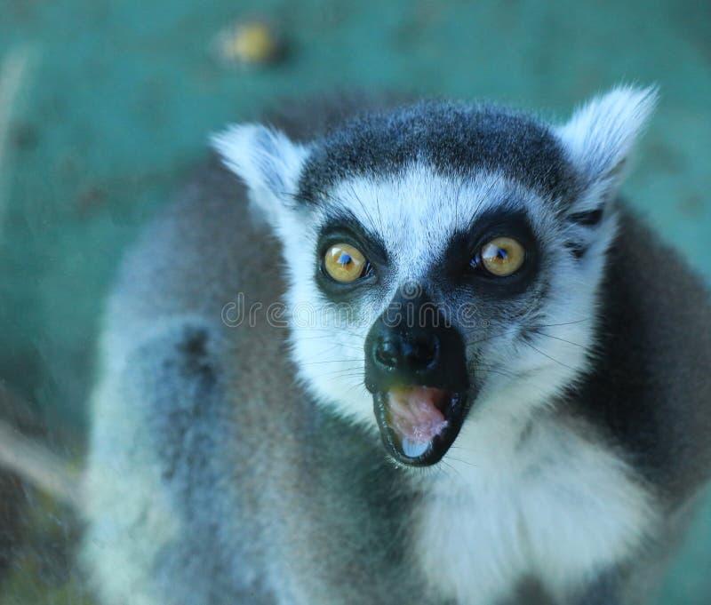 一只逗人喜爱的狐猴 库存照片