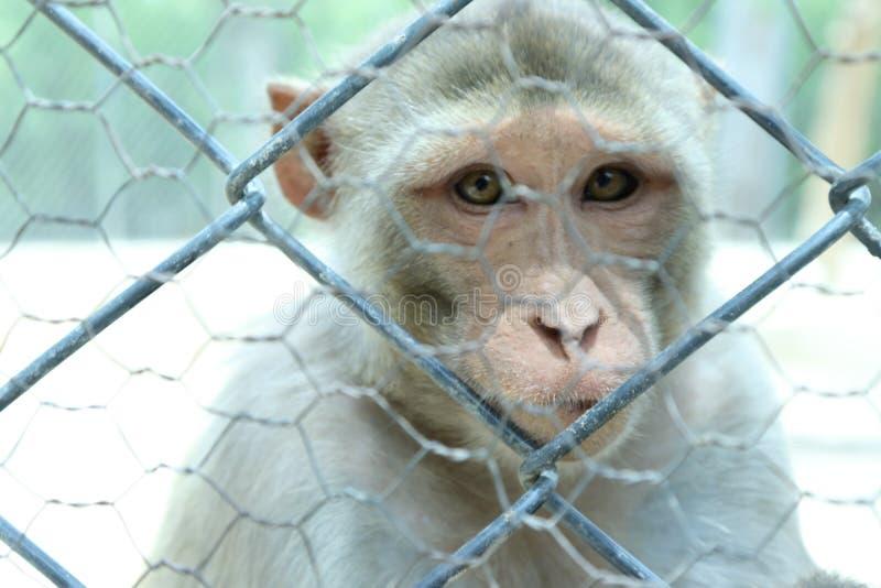 一只逗人喜爱的猴子在自然居住印度 免版税库存图片