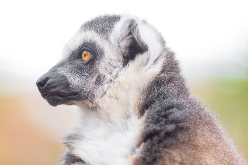 一只逗人喜爱的环纹尾的狐猴的画象,狐猴卡塔 库存照片
