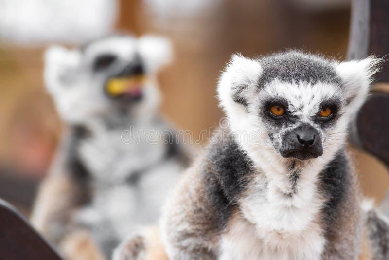 一只逗人喜爱的环纹尾的狐猴的画象,狐猴卡塔 免版税库存图片