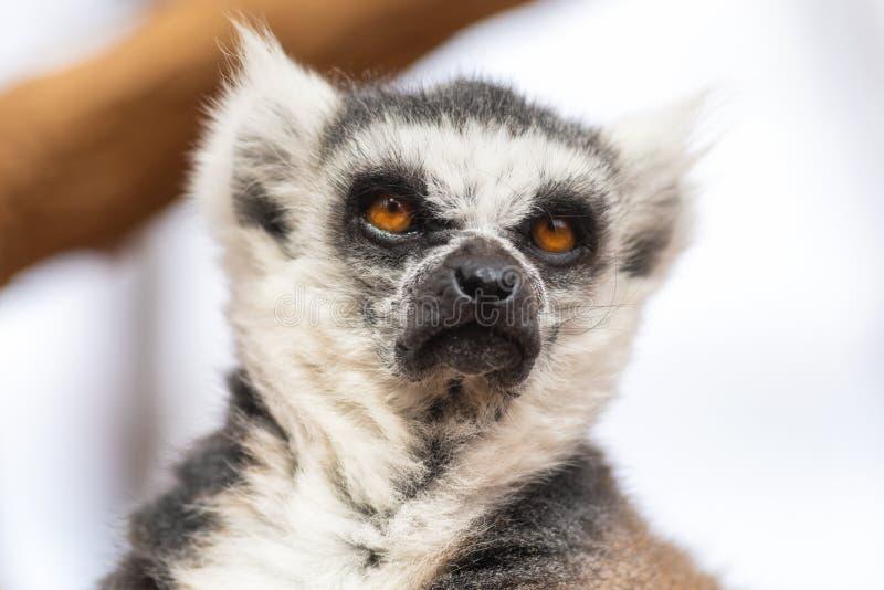 一只逗人喜爱的环纹尾的狐猴的画象,狐猴卡塔 免版税库存照片