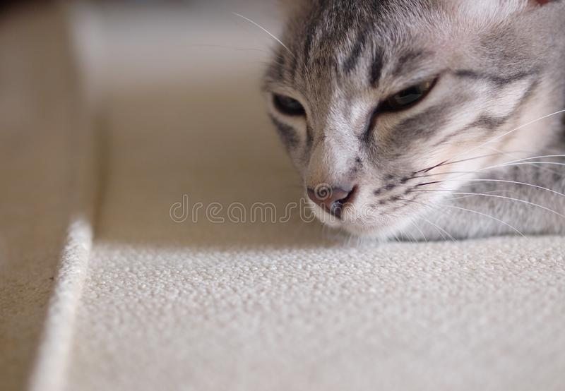一只逗人喜爱的短发幼小矮小的家庭宠物猫的画象 免版税库存照片