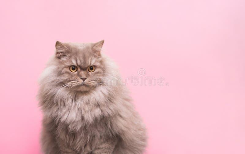 一只逗人喜爱的蓬松宠物的画象,在桃红色背景的一只猫看在旁边到地方为文本 免版税库存图片