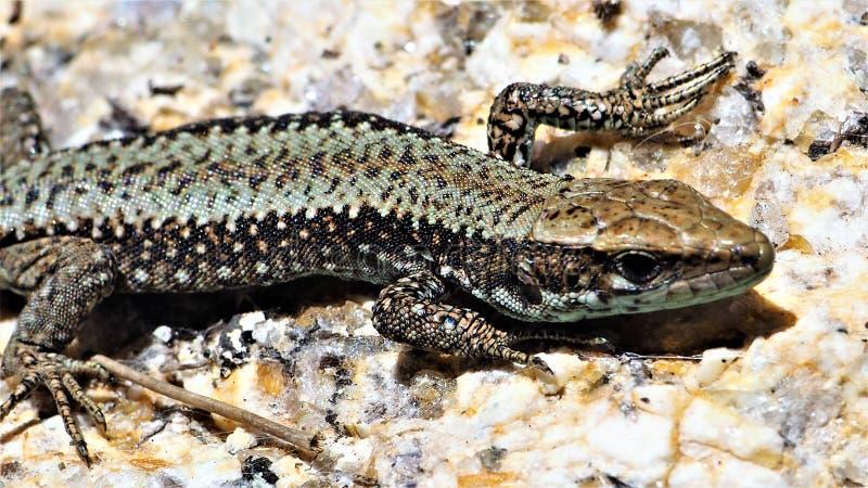 一只逗人喜爱的蜥蜴的美丽的景色 免版税库存照片