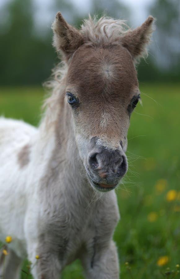 一只逗人喜爱的迷你马驹的画象 库存照片