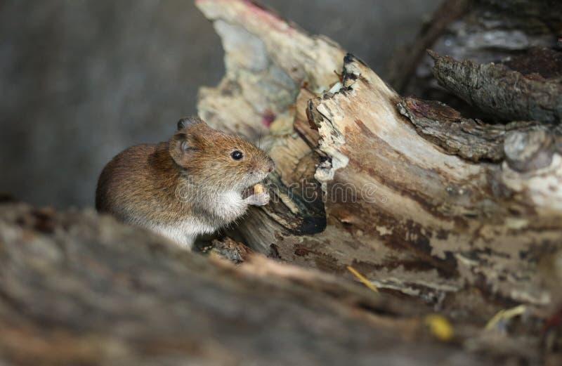 一只逗人喜爱的野生银行田鼠,Myodes glareolus吃坚果坐注册森林地在英国 免版税图库摄影