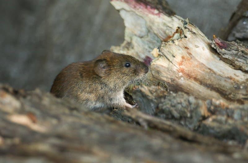 一只逗人喜爱的野生银行田鼠,Myodes glareolus搜寻为在日志堆的食物在森林地在英国 库存照片