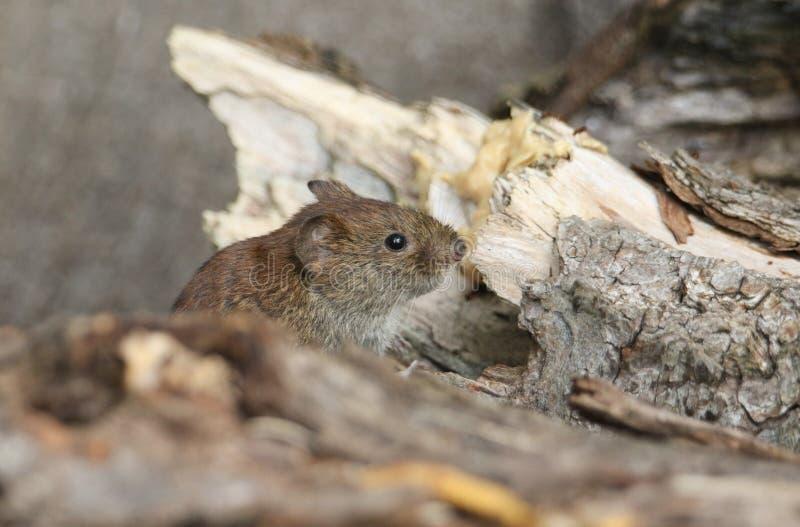 一只逗人喜爱的野生银行田鼠,Myodes glareolus搜寻为在日志堆的食物在森林地在英国 库存图片