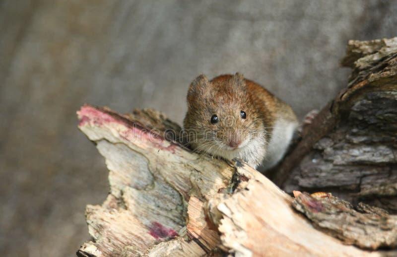 一只逗人喜爱的野生银行田鼠,Myodes glareolus搜寻为在日志堆的食物在森林地在英国 免版税库存图片