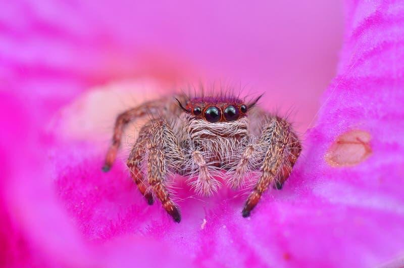 一只逗人喜爱的长毛的跳跃的蜘蛛的宏观图象 库存图片