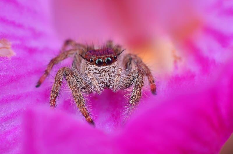一只逗人喜爱的长毛的跳跃的蜘蛛的宏观图象 免版税库存图片