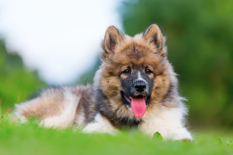 一只逗人喜爱的Elo小狗的画象 免版税库存照片