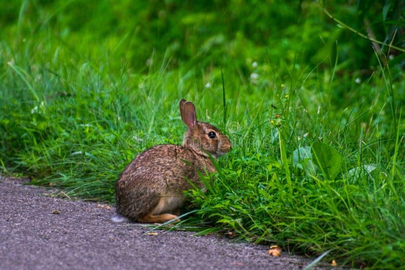 一只野生和非常逗人喜爱的兔子 免版税库存照片