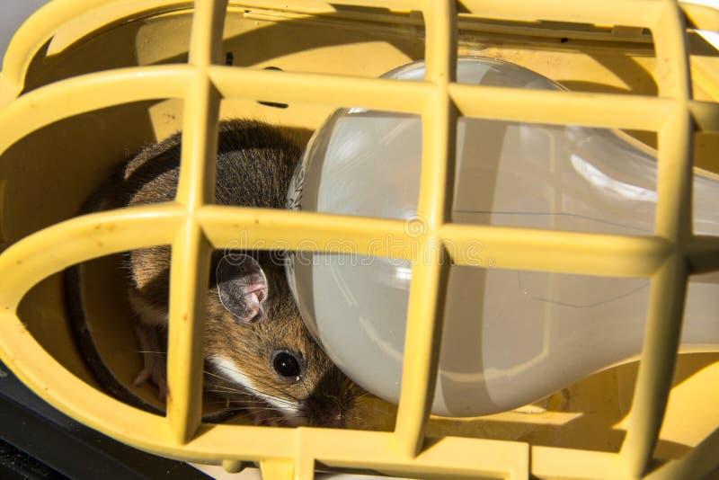 一只野生棕色家鼠, Mus肌肉,偷看从在黄色公共光困住的一个电灯泡的后面 免版税库存图片