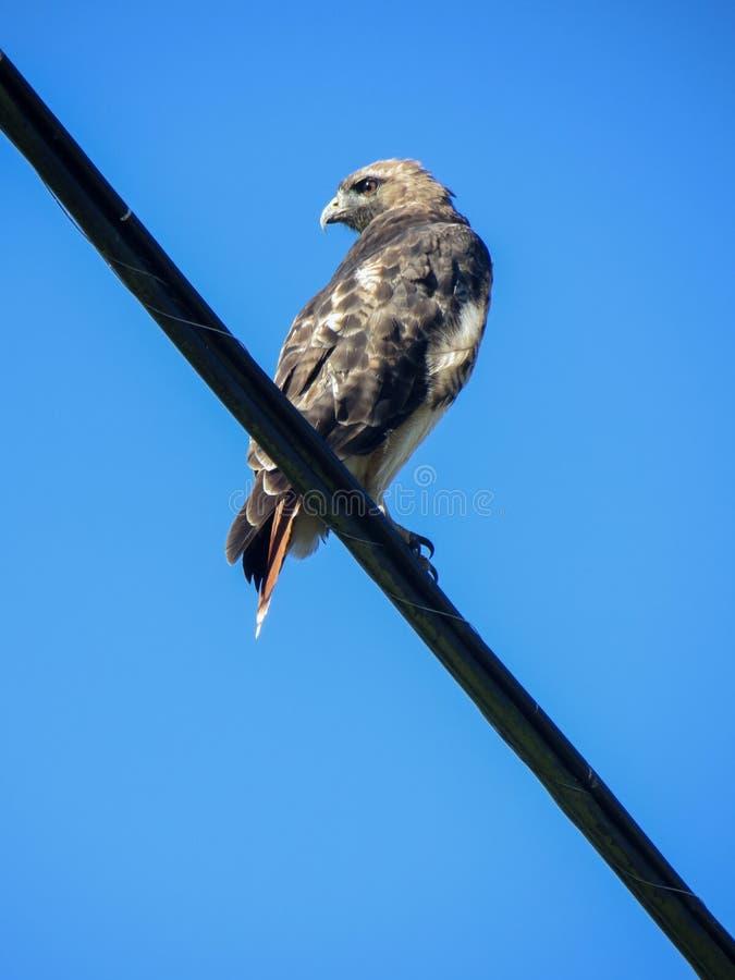 一只野生鹰观看,坐电线 免版税图库摄影