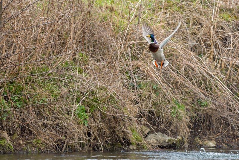 一只野鸭从河开始并且震动翼 库存照片