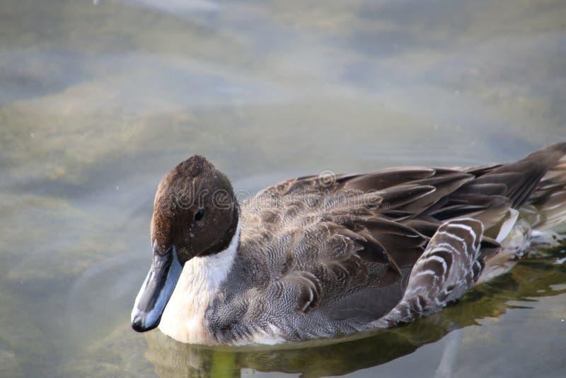 一只针尾鸭鸭子的特写镜头 库存图片