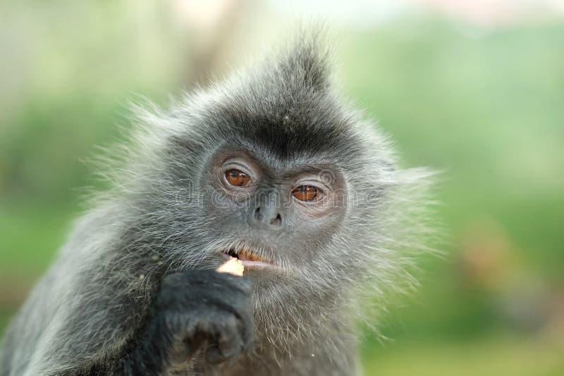 一只银叶病猴子的画象 库存图片