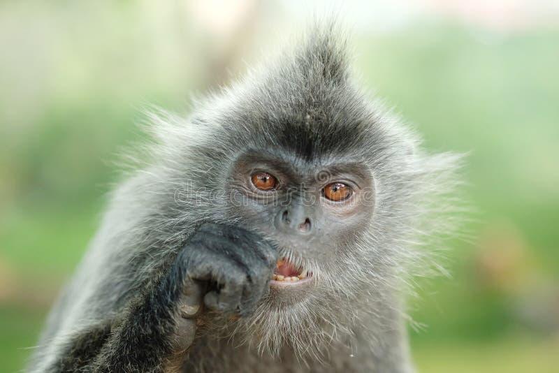 一只银叶病猴子的画象 免版税库存图片