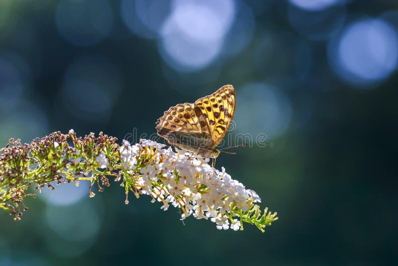 一只银被洗涤的贝母蝴蝶Argynn的侧视图特写镜头 免版税库存图片