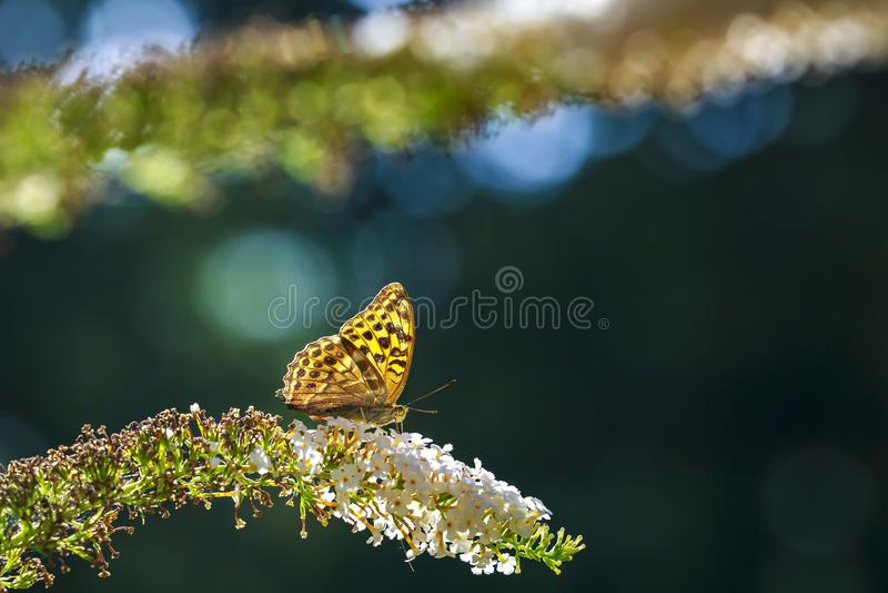 一只银被洗涤的贝母蝴蝶Argynn的侧视图特写镜头 免版税库存照片