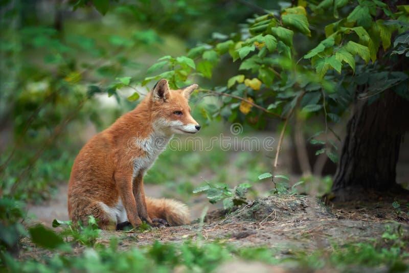 一只镍耐热铜狐狸狐狸的画象 库存照片