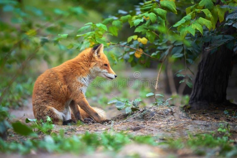 一只镍耐热铜狐狸狐狸的画象 免版税库存图片