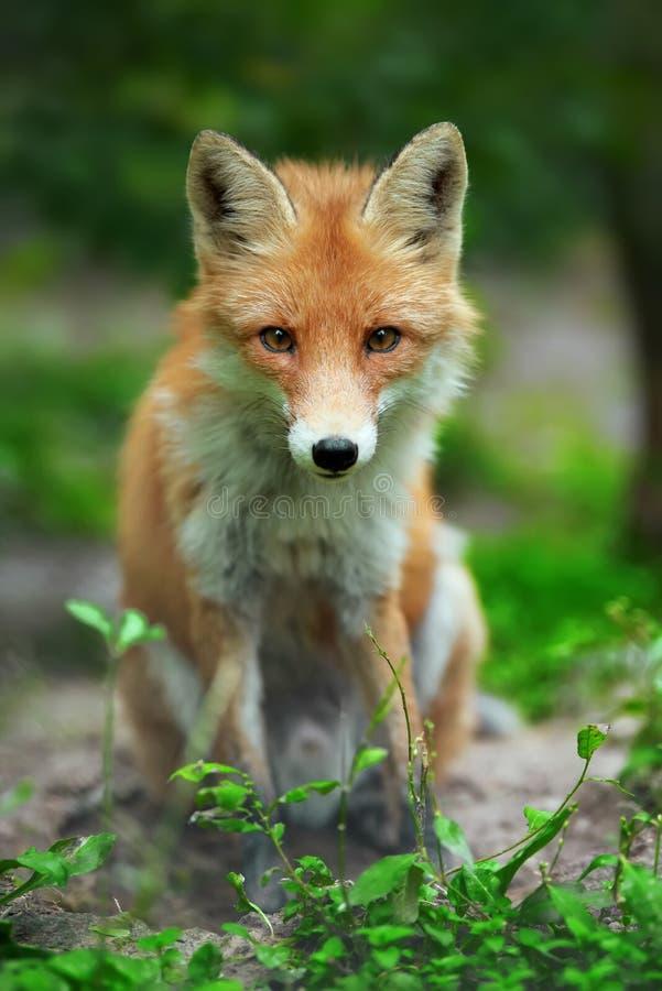 一只镍耐热铜狐狸狐狸的画象 免版税库存照片